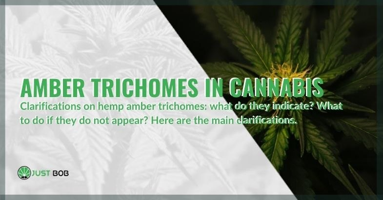 Here are the main clarifications on amber trichomes