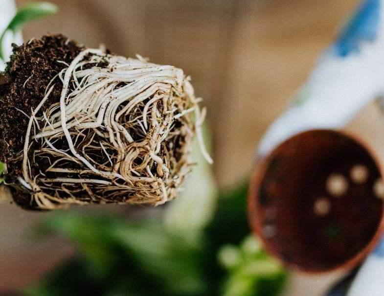 Entanglement of marijuana roots