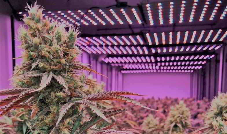 Lighting system to produce amber trichomes