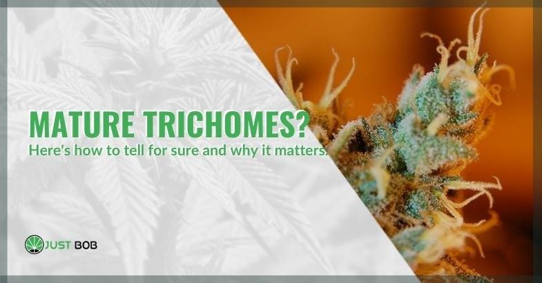 Why is it important to recognize trichomes when they are ripe?